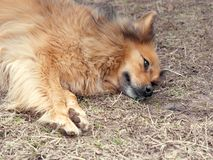 Red yard mongrel dog lies on the ground.  royalty free stock images