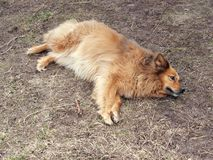 Red yard mongrel dog lies on the ground.  stock image