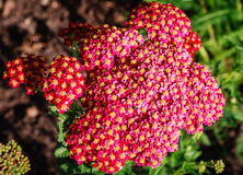 Red Yarrow (Achillea) blossoms Stock Image