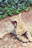 Red yawning cat Royalty Free Stock Image