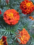 RED YELLO MARIGOLD FLOWER green back round plant nature
