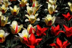 Red and yellov tulips Stock Photos