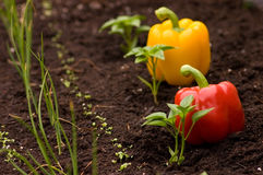 Red and Yellow. Horizontal shot of a red and a yellow Capsicum Annuum behind the actual small plants.  Urban gardening concept, shallow depth of field, focus on Royalty Free Stock Images