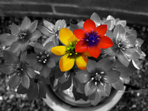 Red and yellow. Two different flowers against black and white background Stock Photography