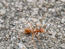 Ant. royalty free stock images
