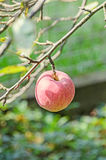 Red, yellow apple fruits in the tree, apple tree branch. The apple tree (Malus domestica), rose family Stock Images