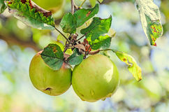 Red, yellow apple fruits in the tree, apple tree branch. Royalty Free Stock Images