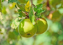 Red, yellow apple fruits in the tree, apple tree branch. Stock Image