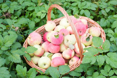 Red and yellow apples in the basket. Autumn at the rural garden Royalty Free Stock Images