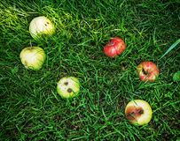 Red and yellow apples in the green grass, seasonal natural scene. Red and yellow rotting apples in the green grass. Seasonal natural scene. Vibrant colors stock photos