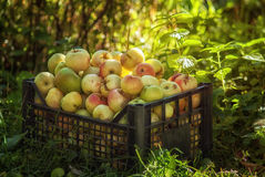 Red and yellow apples in a plastic box Royalty Free Stock Images