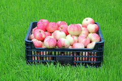 Red and yellow apples in a plastic box Royalty Free Stock Photo