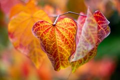 Red and Yellow Autumn Fall Leaves with a selective focus in Adel Royalty Free Stock Photography