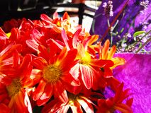 Red Yellow Autumn Flowers with a lila background royalty free stock images