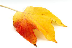 Red and Yellow Autumn Leaf Stock Photo
