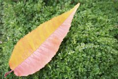 Red-yellow autumn leaf on a green Bush. Background stock photo