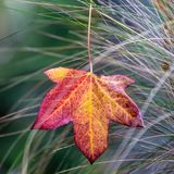 Red and Yellow Autumn Leaf royalty free stock image