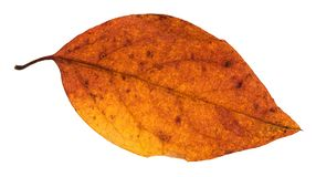 Red and yellow autumn leaf of poplar tree isolated. On white background Royalty Free Stock Photos