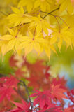 Red and Yellow Autumn Leaves. Bright yellow and red Autumn (Fall) foliage stock images