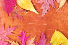 Red and yellow autumn leaves Royalty Free Stock Photos