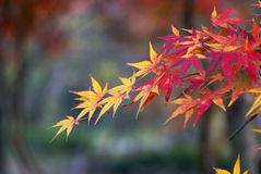 Red and yellow autumn leaves. Closeup of red and yellow autumn leaves with nature background and copy space Royalty Free Stock Photography
