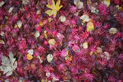 Red and yellow autumn leaves. Changing colors with the seasons stock photography