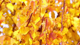 Red and Yellow Autumn Leaves stock footage