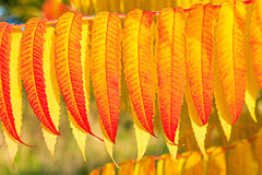 Red and yellow autumn leaves in detial Stock Images