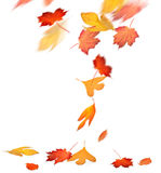 Red and yellow autumn leaves falling. Bright autumn maple, sassafras, and black gum leaves falling to the ground royalty free stock image