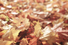 Red and yellow autumn leaves Stock Photos