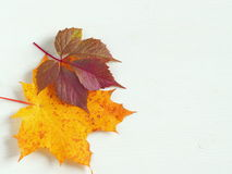Red and yellow autumn leaves upon white wooden background. Copy space for your text Stock Photography