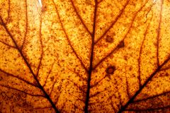 Red and yellow autumn maple leaf background. Natural structure of veins, high resolution Stock Image