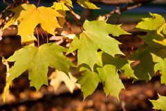 Red and yellow autumn maple leaves Stock Image
