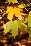 Red and yellow autumn maple leaves Royalty Free Stock Photography