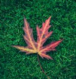 Red leaf from Acer stock photo