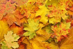 Red and yellow autumn sheet Stock Images
