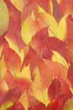 Red and yellow autumnal leaves background Royalty Free Stock Photo