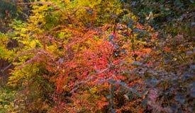 Red yellow barberry bushes. Berberis tunbergii Stock Photos
