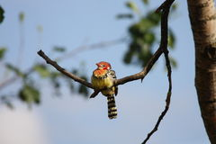 Red and Yellow Barbet Stock Photos