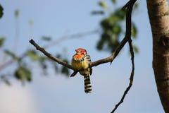 Red and Yellow Barbet. (Trachyphonus erythrocephalus) bird Stock Photos