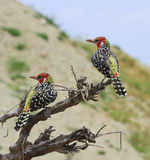 Red & Yellow Barbet Royalty Free Stock Photo