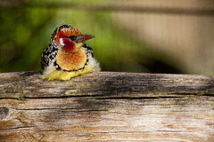 Red-and-yellow Barbet Bird Stock Photos