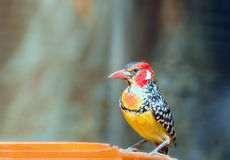 Red-and-yellow barbet near feeders. Royalty Free Stock Images