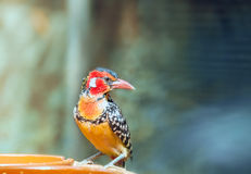 Red-and-yellow barbet near feeders. Stock Photos