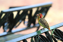 Red and yellow barbet on a park bench Stock Photography