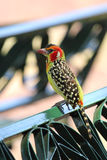 Red and yellow barbet on a park bench Royalty Free Stock Photos