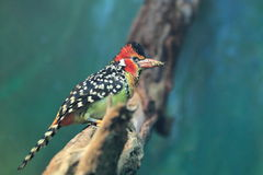 Red-and-yellow barbet Stock Images