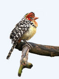 Red and Yellow Barbet (Trachyphonus erythrocephalus) Stock Photo