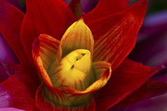 Red and yellow Beautiful Orchid Royalty Free Stock Photography