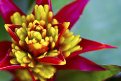 Red and yellow Beautiful Orchid Royalty Free Stock Image